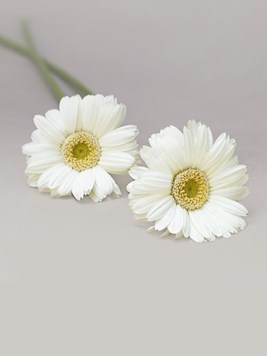 Doves: Single White Gerbera Stem